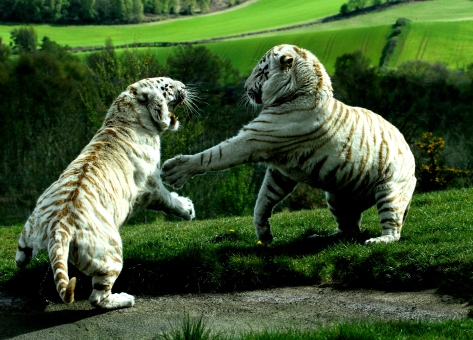 White Tigers Fighting taken by Stacy Woolhouse.