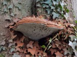 Fungi at Holme Lacy